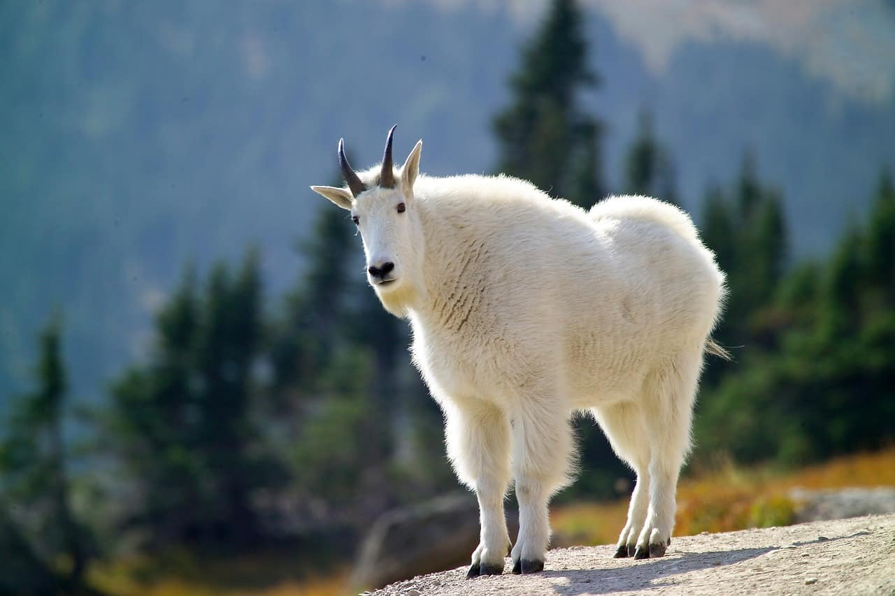 A goat standing on top of a hill