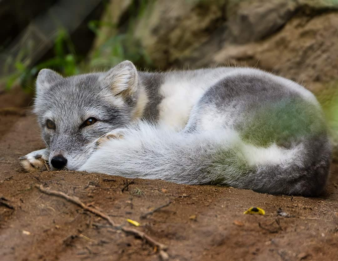 A fox lying in the dirt